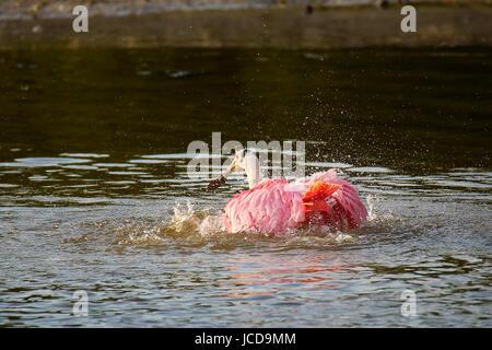 Roseate spoonbill (Platalea ajaja) bathing in a water - Stock Photo