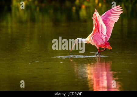 Roseate spoonbill (Platalea ajaja) spreading wings - Stock Photo