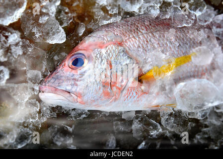 Fresh red snapper fish from fishery market frozen in ice piece. - Stock Photo