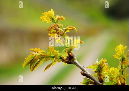 junge grüne Eichenblätter Makro - Stock Photo