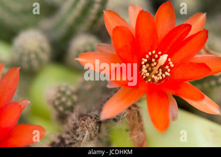 Macro closeup of tiny beautiful bright red flowers of cactus, a small plant blooming in spring and summer, top flat - Stock Photo