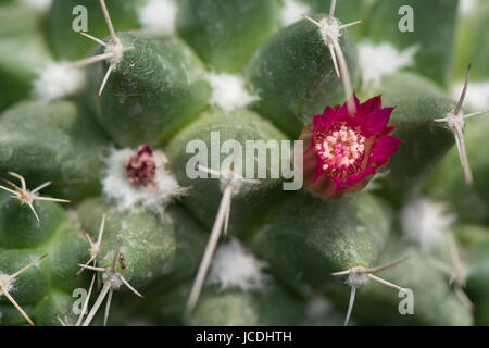Macro closeup of tiny beautiful flower of cactus, a small plant blooming in spring and summer time, top view - Stock Photo