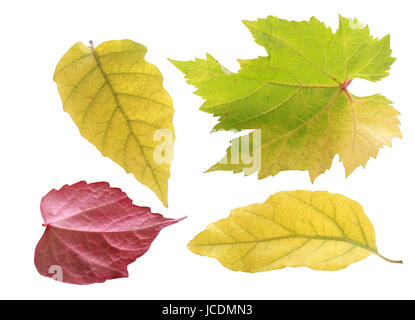 Trio of pretty pastel colored autumn leaves in green and yellow in different shapes with one red leaf viewed on - Stock Photo