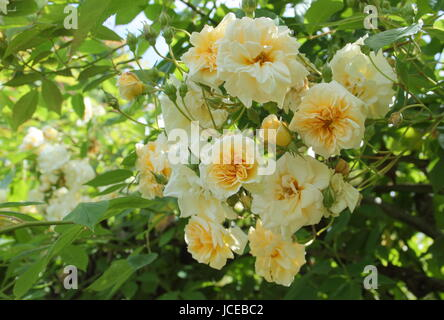 Rosa 'Alister Stella Gray', ('Golden Rambler') a repeat flowering, fragrant noisette rose, climbing over an arch - Stock Photo
