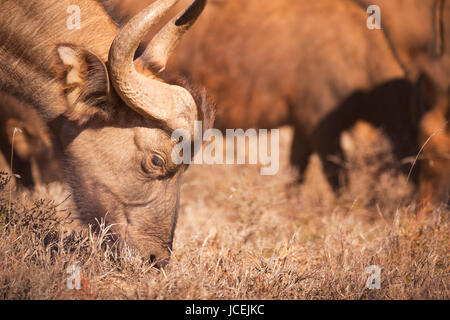 Close up of an African buffalo grazing in Addo Elephant National Park, South Africa. - Stock Photo