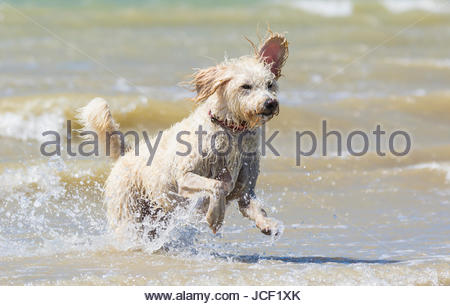 A Labradoodle dog keeps cool in the sea on a hot Summer's day in June 2017 on the South Coast of England, UK. - Stock Photo