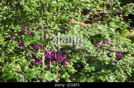 Rowan (Sorbus aucuparia) flowering - Stock Photo