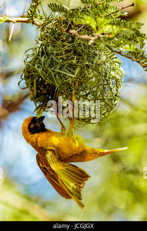 Single male Southern Masked Weaver (Ploceus velatus) fluttering his wings suspended below his nest, Karoo National - Stock Photo