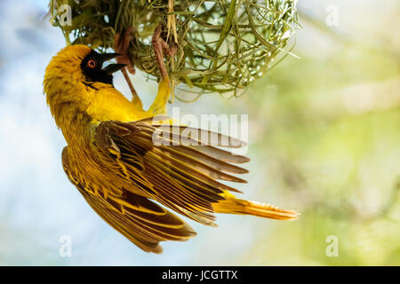 Single Male Southern Masked Weaver (Ploceus velatus) bird constructing his nest, hanging and fluttering his wings, - Stock Photo