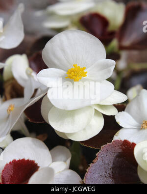 The fresh white flowers of summer bedding plant Begonia semperflorens, also known as wax begonia. - Stock Photo