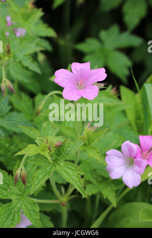 Pink Cranesbill Geranium flowers, Wargrave Pink, Geranium endressi blooming in summer on a natural green leaf background. - Stock Photo