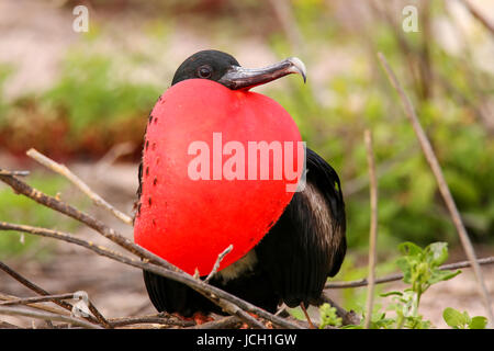 Male Magnificent Frigatebird (Fregata magnificens) with inflated gular sac on North Seymour Island, Galapagos National - Stock Photo