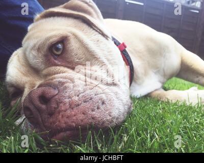 an olde tyme bulldog female dog laying on the grass - Stock Photo