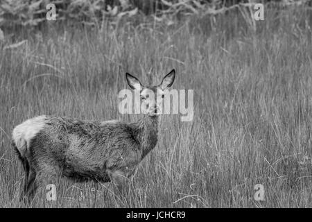 Red Deer Hind in Scotland in black and white - Stock Photo