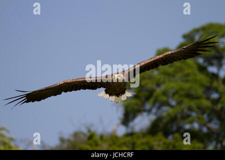 Adult White Tailed Eagle in flight in the Scottish Highlands - Stock Photo