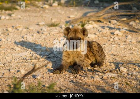 Close up of a spotted hyena, Etosha National Park, Namibia, Africa - Stock Photo