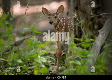 A fawn whitetail deer looking back. - Stock Photo