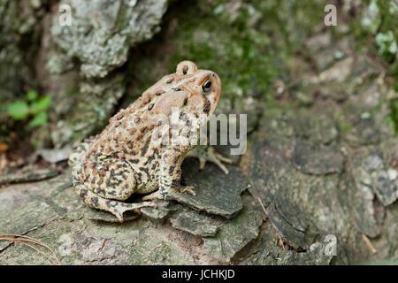 North-American Fowler's Toad - Virginia USA - Stock Photo