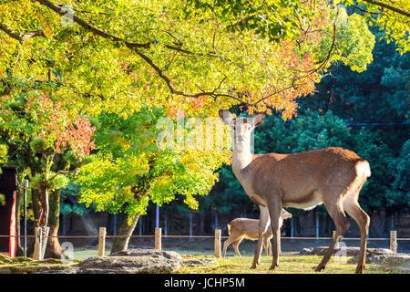 Nara deer roam free in Nara Park, Japan for adv or others purpose use - Stock Photo