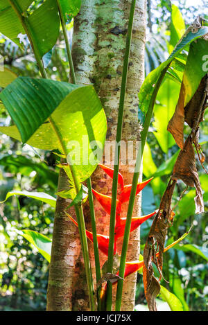 Red heliconia flower in the Amazon rainforest in Madidi National Park near Rurrenabaque, Bolivia - Stock Photo
