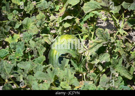 watermelon in spain on the field - Stock Photo