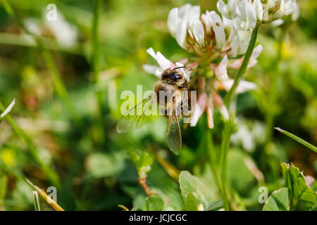 Western honey bee or European honey bee (Apis mellifera) collects nectar from and pollinates clover in early summer - Stock Photo