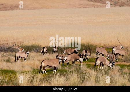 Gemsbok (Oryx gazella), Palmwag Concession, Damaraland, Namibia. - Stock Photo