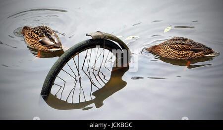 Zwei Enten tauchen neben einem versunkenen Fahrrad - Stock Photo