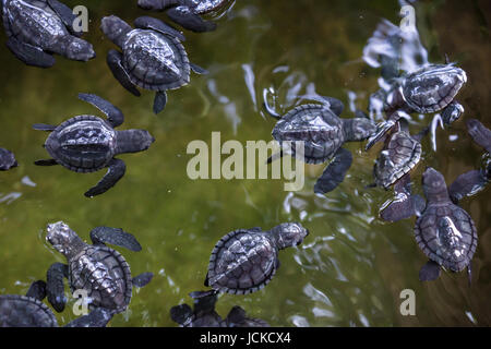 baby turtles in water - Stock Photo