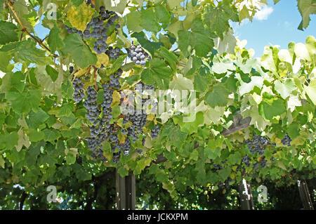 Nahaufnahme, blaue Trauben, kleine und reife Beeren am Weinstock und ein Blick in den blauen Himmel Close-up, blue - Stock Photo