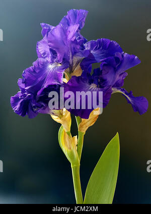 Schwertlilie, Iris Barbata-Elatior, Blue Rhythm - Stock Photo