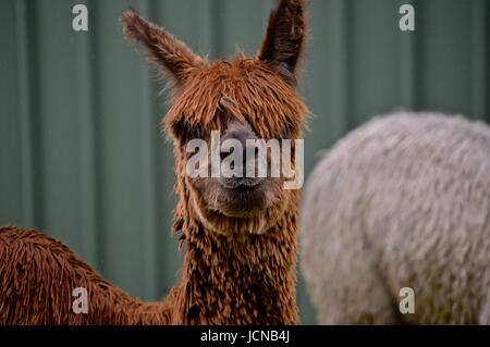 Brown suri alpaca face - Stock Photo