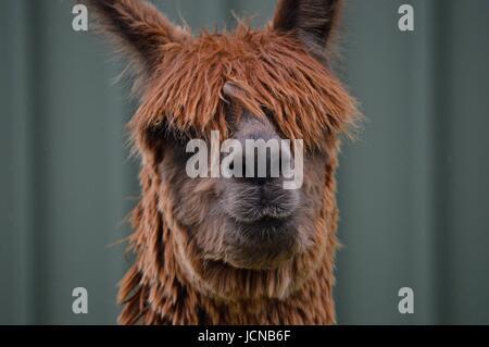 Brown suri alpaca face - Stock Photo