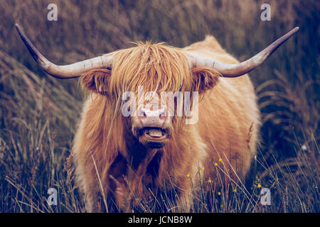 Highland Cow with long horns grazing in the Peak District near Baslow Edge and Curbar Edge - Stock Photo