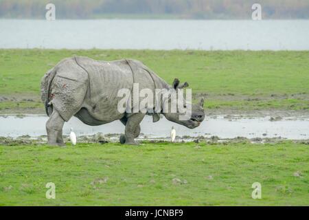 Indian rhinoceros (Rhinoceros unicornis) standing on riverbank with Cattle Egret (Bubulcus ibis) - Stock Photo