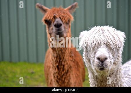 White and brown Suri Alpacas - Stock Photo