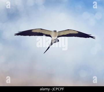 Swallow-tailed Kite (Elanoides forficatus) in flight with a grasshopper - Stock Photo