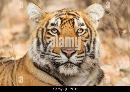 Portrait of a Bengal tiger, (Panthera tigris tigris) - Stock Photo