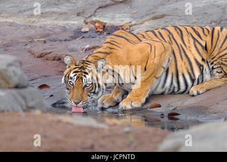 Bengal tiger, (Panthera tigris tigris)., drinking water - Stock Photo