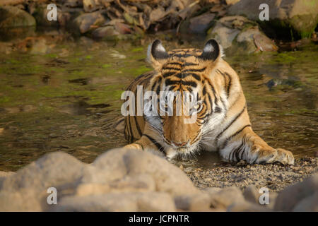 Bengal tiger, (Panthera tigris tigris) in water looking at camera - Stock Photo