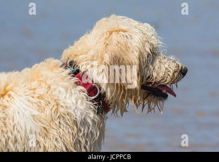 Labradoodle dog. Side view of the head and neck of a white male labradoodle dog (Canis lupus familiaris). - Stock Photo