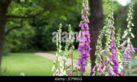 Digitalis Purpurea. Foxgloves in an english garden - Stock Photo