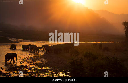 Indian Elephant Herd at Sunrise crossing a river - Stock Photo