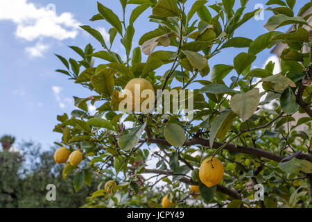 Group of yellow lemons hanging on tree with green leaves in Florence, Tuscany, Italy - Stock Photo