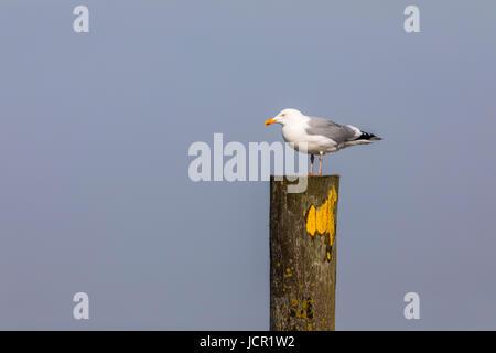 North Sea island, Norderney, East Frisia, Germany, Beach, sea birds, seagulls, - Stock Photo