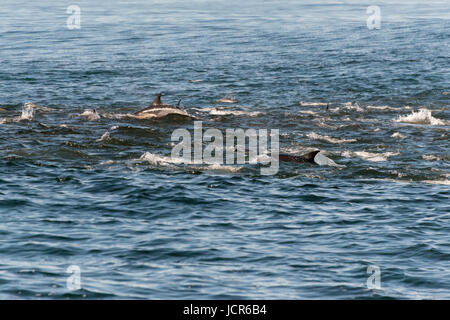 A pod of long beaked common dolphins feeding from a bait ball of the coast of Gansbaai, South Africa - Stock Photo