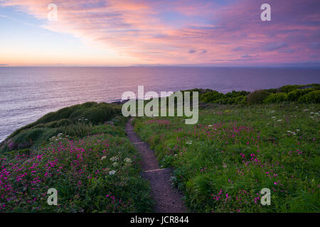 Sea Campion in flower on Rillage Point on the North Devon Heritage Coast at dusk. Ilfracombe, England. - Stock Photo