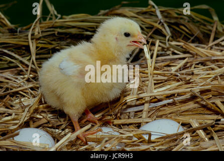 Chick standing in nest on eggs, Missouri, USA - Stock Photo