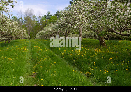 Blooming apple orchard with rows of trees, North Yarmouth Maine in spring, USA - Stock Photo