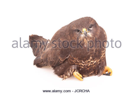 A common buzzard, Buteo buteo, found on a roadside, too weak to run away. It was caught and secured for the night, - Stock Photo